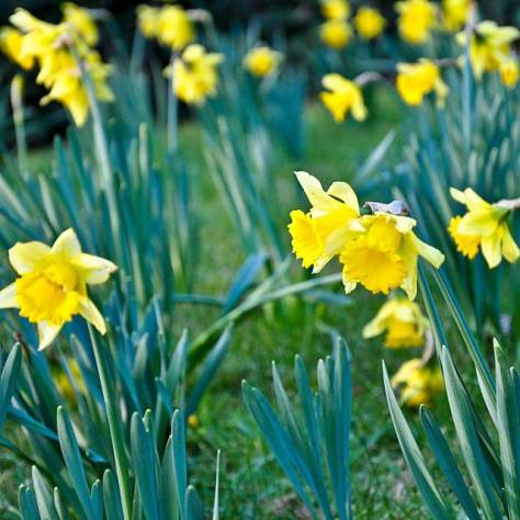 St David's Day daffs 2015