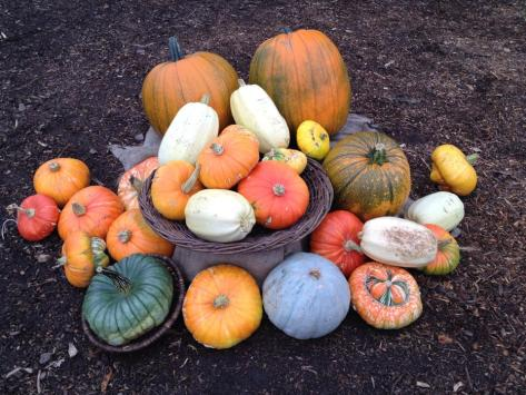 pumpkins at riverside community garden