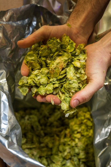 Cardiff, United Kingdom, November 26 2015. Brewer Adam checks the stocks of fresh hops at the Crafty Devil Brewery, Canton, Cardiff, Wales.